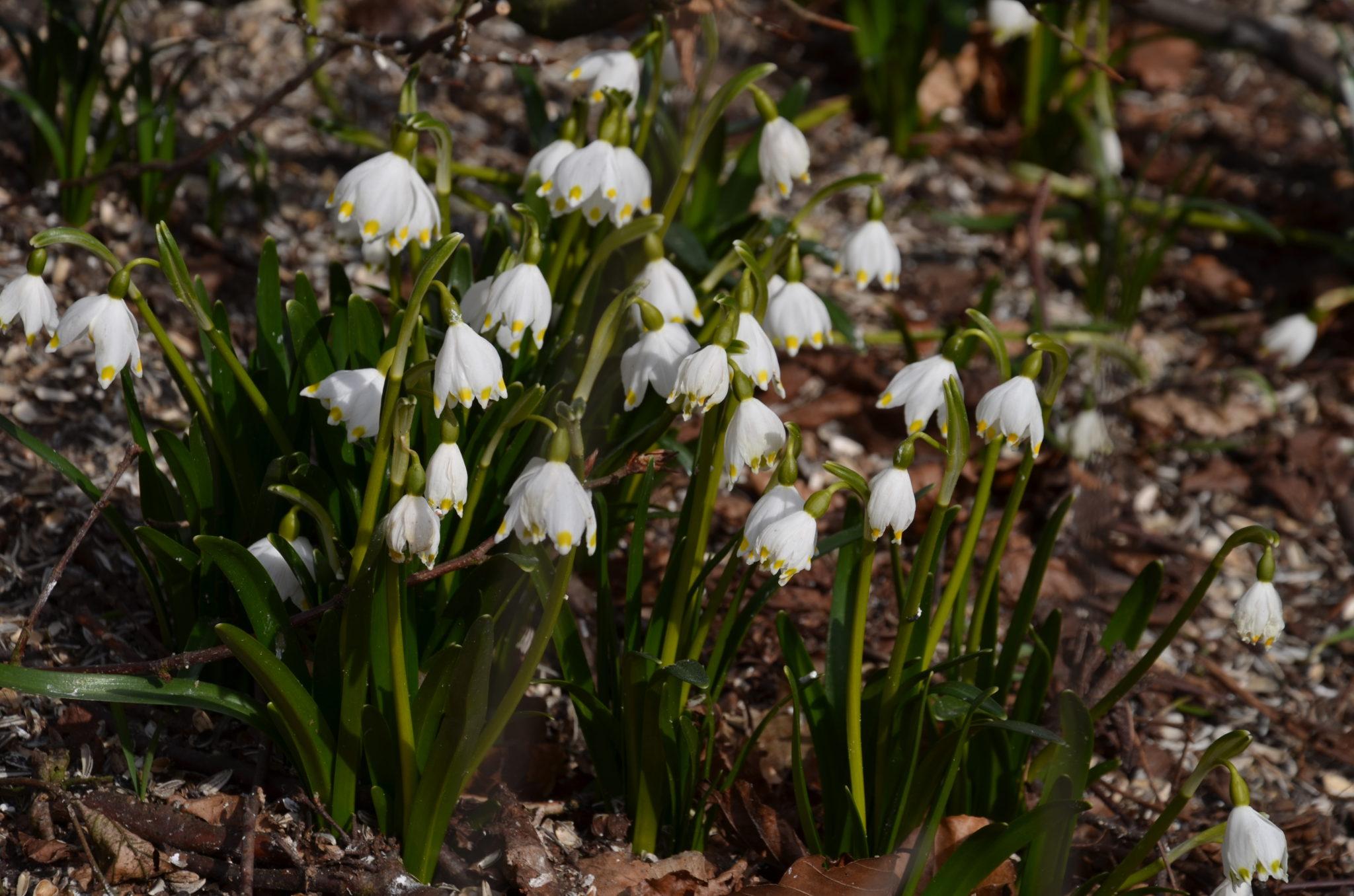 Dorthea liljer i det tidlige forår ved Kværndrup kirke